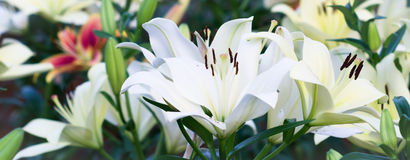Lily flower. White lily flower in the garden Royalty Free Stock Photography