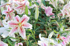 Lily flower of white mix pink color bloom. Royalty Free Stock Images