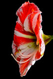 Lily flower. White and red Stock Photo
