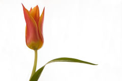Lily-flowered tulip. Single tulip flower with leaf Royalty Free Stock Photos