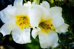 Lily Flowering branca imagem de stock royalty free