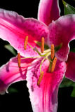 Lily Flowering manchada rosa fotografia de stock royalty free