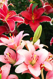 Lily flowers Royalty Free Stock Photography