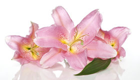 Lily flowers. Close up image of pink lily flowers Stock Photos