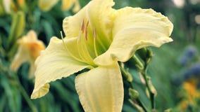 Lily Flowers amarilla en el jardín Fotografía de archivo libre de regalías