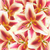 Lily flowers background Stock Photography