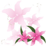 Lily flowers background. isolated white background Stock Images
