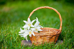 Lily flowers in a basket Royalty Free Stock Photo