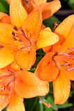 Lily flowers Stock Image