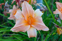 Lily flowers Stock Images