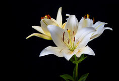 Lily flowers on a black background. Stock Image