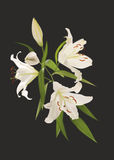 Lily flowers on a black background stock illustration
