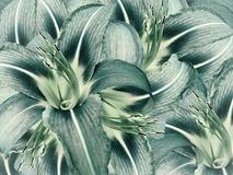 Lily flowers. bright turquoise background. floral collage. flower composition. royalty free stock image