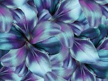 Lily flowers. bright turquoise-purple background. floral collage. flower composition. stock image