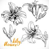 Lily flowers and buds ink on white paper set Royalty Free Stock Images