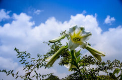 Lily flowers. A bunch of lilies in full bloom under the blue sky Stock Image