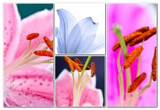 Lily flowers collage Royalty Free Stock Photo