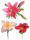 Lily flowers collection. On a white background, isolated stock photos
