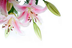 Lily flowers corner frame Royalty Free Stock Photos