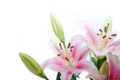 Lily flowers corner frame Royalty Free Stock Images