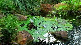 Lily Flowers dans le lac