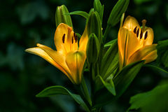 Lily flowers on a dark background. Stock Photography