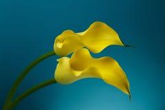 Lily Flowers för två Calla bakgrund Royaltyfri Foto
