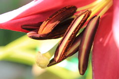 Lily Royalty Free Stock Images