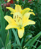 Lily Flowers gialla nel giardino Immagini Stock Libere da Diritti