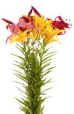 Lily flowers,isolated. Stock Images
