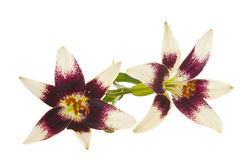 Lily flowers isolated Royalty Free Stock Images