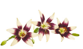 Lily flowers isolated Stock Photo