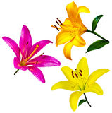 Lily flowers isolated. lily flowers. lily flowers isolated on wh Royalty Free Stock Photography
