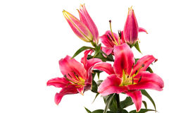 Lily flowers Royalty Free Stock Images