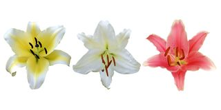Lily Flowers Isolated on White Background. Colorful Lily Flowers Isolated on White Background royalty free stock photography