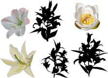 Lily flowers set vector illustration