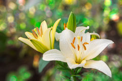 Lily4 Royalty Free Stock Images