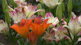 lily flowers in summer farm garden, 4K stock video footage