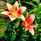 Lily flowers in the summer garden Royalty Free Stock Photo