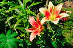 Lily flowers in the summer garden Royalty Free Stock Images