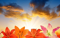 Lily flowers at sunset. Royalty Free Stock Images
