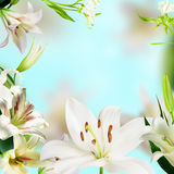 Lily flowers. White Lily flowers on a blue background Royalty Free Stock Photo