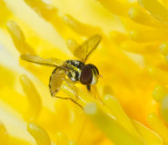 Lily fly Stock Images