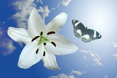 Lily and flying butterfly. On background of the light stock images