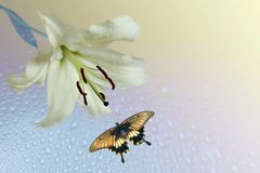 Lily and flying butterfly. On background of the light royalty free stock photography