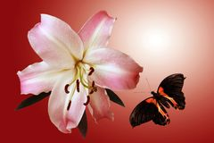 Lily and flying butterfly. On background of the light stock photo