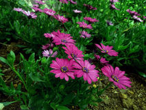 Lily Folower cor-de-rosa Fotografia de Stock