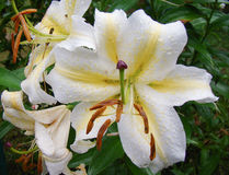Lily. Fragrant garden lily after the rain Stock Photography