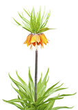 Lily (Fritillaria imperialis) Royalty Free Stock Photo