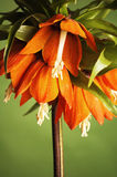 Lily (Fritillaria imperialis) Stock Photography